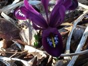 First Iris this year