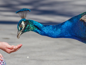 Feed a Peacock