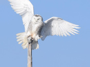 Snowy Owl on Chebeague Island by Captain Kevin Wentworth, Chebeague Water Taxi
