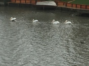 pelicans in Stockton