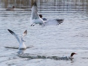 Gulls attack Merganser