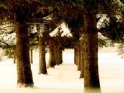 Quiet winter grove