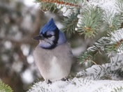 Little blue jay