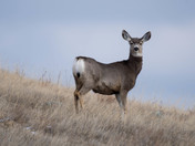 Mule Deer in Grasslands National Park