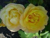 Gold Medal Roses