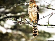 A beautiful Coopers Hawk visited my yard in Braintree,MA