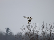 Juvenile Rough Legged Hawk