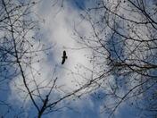 Hawk through the trees