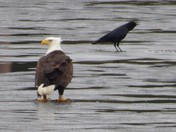 Odd Couple hanging out on Pearly Pond, Rindge, NH