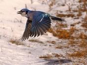 Blue Jay Flypast