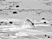 Dance of the Arctic Hare