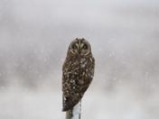 Snowy Short Earred Owl