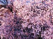 BLOOMING PLUMB TREES TAKEN WITH A DRONE