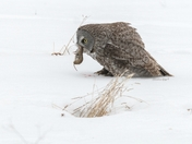 Great Grey Owl with lunch!