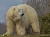 Polar Bear (Male)