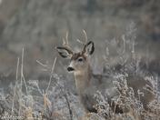 Mule Deer in a misty Forest