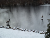 Geese getting ready for spring