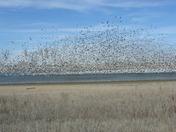 Flight of the Snow Geese