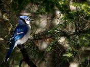Blue Jay Highlight