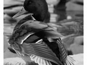 Canard malard mâle