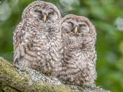 Barred Owlets Sleeping