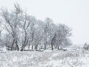 Prairie Trees (1295)