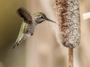 Anna's Hummingbird (0314)