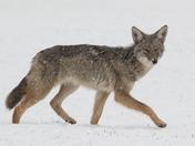 Coyote (0036)