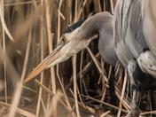 Great Blue Heron (9272)