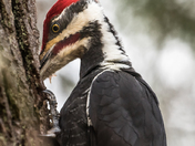 Pileated Woodpecker (8956)