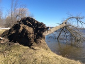 High winds blows tree into lake