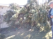 The winds brought down our 70 year old pine tree.