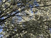 Springtime buds and doves