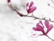 snow & magnolia