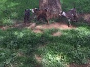 Baby Goats Ring Around the Rosie