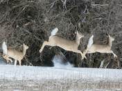 Deer in running