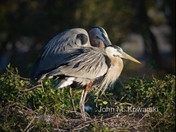 Partners  ( Great Blue Herons )