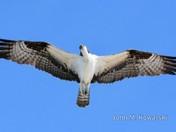 Osprey Hunting 2
