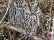 2 Long-eared Owls together