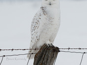 Snowy Owl Post