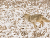 Coyote in Running