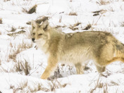 Coyote in Winter Fields