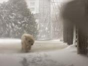 Westie in a Blizzard
