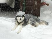 JJ silly Malamute enjoying the snow...