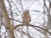 Camouflaged Red-Tailed Hawk