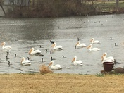 Geese and pelicans