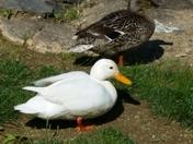 Signs of Spring Mallard Ducks