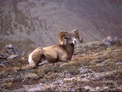Ricky Mountain Bighorn Sheep (male)