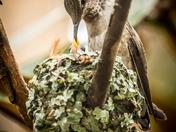 Anna's Hummingbird at Nest (0954)