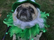 Happy St.Patty's Day from Puddin the Pug